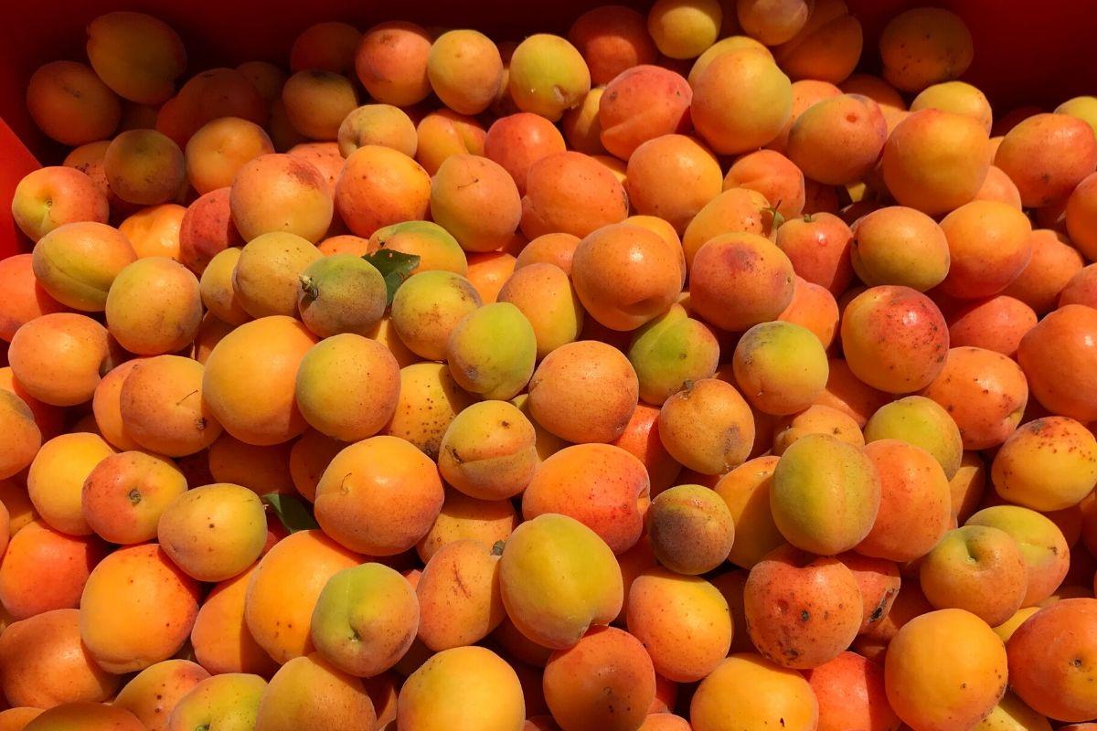 Azienda agricola Il favaio - albicocche
