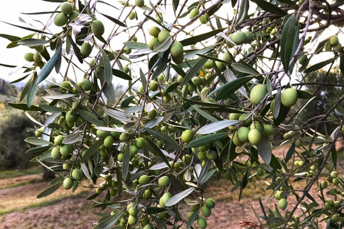 Azienda agricola Il favaio - olive per olio